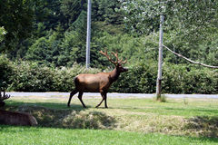 Big bull elk in velvet Royalty Free Stock Image