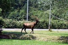 Big bull elk in velvet Royalty Free Stock Image