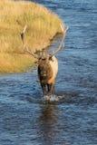 Big Bull Elk Walking in Stream Stock Images