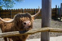 Big bull horns Royalty Free Stock Photo