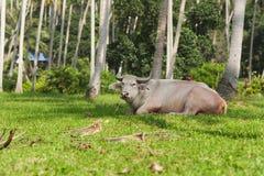Big bull Royalty Free Stock Image