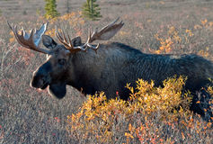 Big Bull Moose Stock Image