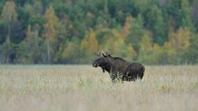 Big bull moose. In a swamp Stock Photography