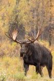 Big Bull Moose in Autumn Royalty Free Stock Photos