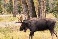Big Bull Moose in Fall Stock Photo