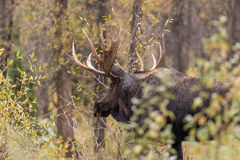 Big Bull Moose in Fall Royalty Free Stock Photography