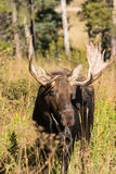 Big Bull Moose Head On Stock Photography