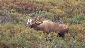 Big Bull Moose in Velvet. A big bull Alaska Yukon moose in velvet in Denali National Park stock footage