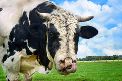 Big bull with nosering. Bull with nose ring and chain shot in the meadow Royalty Free Stock Image