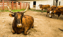 Old bull resting on the farm, in the middle of the road Royalty Free Stock Photography