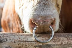 Big bull with a ring in a nose stock images