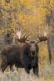 Big Bull Shiras Moose Stock Photo