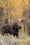 Big Bull Shiras Moose in Fall Rut Stock Photos