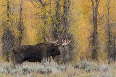 Big Bull Shiras Moose in Rut Stock Photos