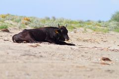 Big bull standing on the beach Stock Images