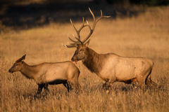 Big bull trailing cow elk Royalty Free Stock Photo
