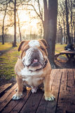 Big bulldog on the bench Stock Image