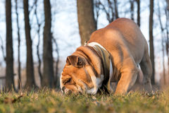 Big bulldog in the park Royalty Free Stock Images