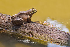 Big Bullfrog royalty free stock photo