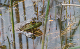 Big bullfrog partially submerged, warms n the sun. Royalty Free Stock Photo