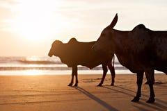 Big bulls Stock Image