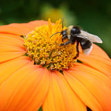 Big bumble bee Royalty Free Stock Photo