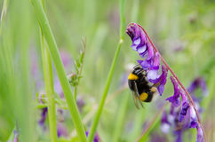 Big bumble bee Stock Images