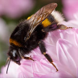 Big bumble bee sitting on  blossoming flower. Big bumble bee sitting on a blossoming flower Royalty Free Stock Photography
