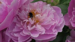 Big bumblebee collecting nectar in the peony flower stock video footage
