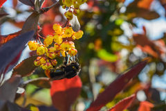 Big bumblebee collects nectar from the flowers of the barberry Stock Photo