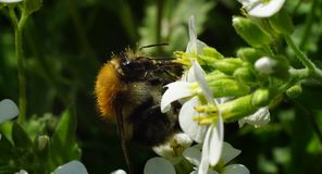 Big bumblebee drinking nectar from white flower Stock Images
