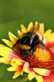 Big bumblebee on red yellow flower. Macro background Stock Image