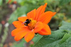 Big bumblebee is resting on the flower of Chinese chrysanthemum. Chinese chrysanthemum flower on an isolated background royalty free stock photography