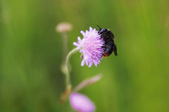 Big bumblebee sits on a purple flower field Royalty Free Stock Photos