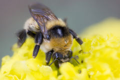 Big bumblebee Stock Photo