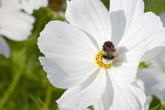 Big bumblebee in a white flower Royalty Free Stock Photos