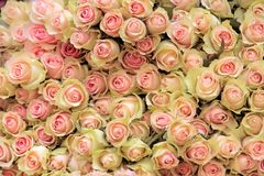 Big bunch of cut light pink roses Royalty Free Stock Photos