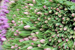 Big bunch of cut pink tulips Royalty Free Stock Photography