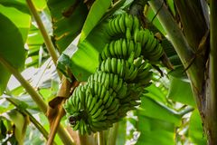 Big bunch of green bananas growing in the tropical forest Stock Photo
