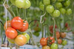 Big bunch with green and red tomatoes Royalty Free Stock Photos