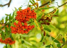 Big bunch of mountain ash orange small berry close-up on a background. Of green leaves Stock Image