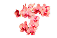 Big bunch of pink tint orchid delicate flowers. Isolate Royalty Free Stock Photos