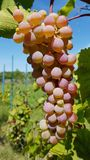 Big bunch of round white green and light purple ripe grapes. Big bunch of round white green and light purple pink ripe grapes closeup. Fresh green grapevines stock photography