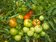 Big bunch of tomatoes Stock Photo