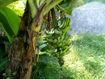 Big bunches of banana musa on the plants Royalty Free Stock Photography