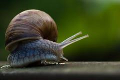 Big Burgundy snail crawling Stock Photography