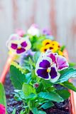 Big bush blooming flowers, pansies in the garden Stock Image