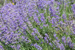 Big bush blooming lavender. Close-up stock photography