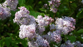 Big bush of blossoming  lilac in the spring stock footage