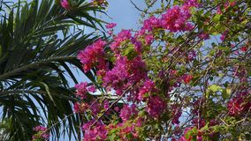 Big bush of bougainvillea magenta flowers with blue sky. Big bush of bougainvillea magenta flowers with palm tree leaves and blue sky. Shot with Sony a7s and stock video footage